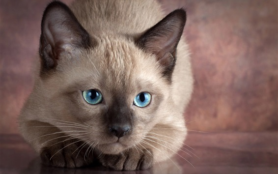 壁紙 青い目の猫の正面から見た、灰色