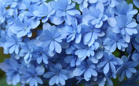 Papéis de Parede Close-up de hortênsia azul