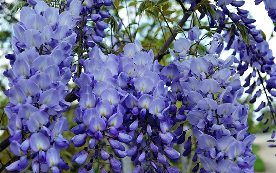 Wallpaper Blue wisteria flowers, flowering, spring