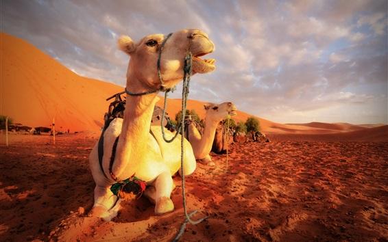 壁紙 ラクダ、砂漠