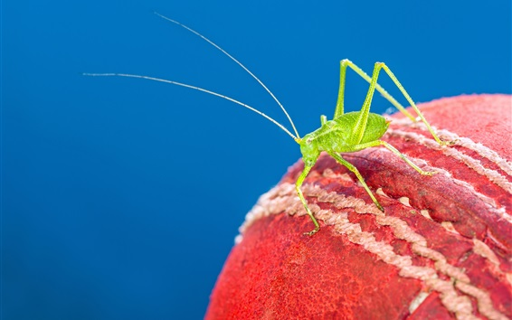 Wallpaper Cricket ball, green insect