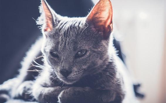 Wallpaper Cute gray kitten, backlight