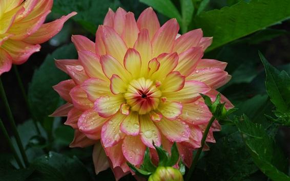 壁紙 ダリア、ピンク、黄色の花びら、水滴
