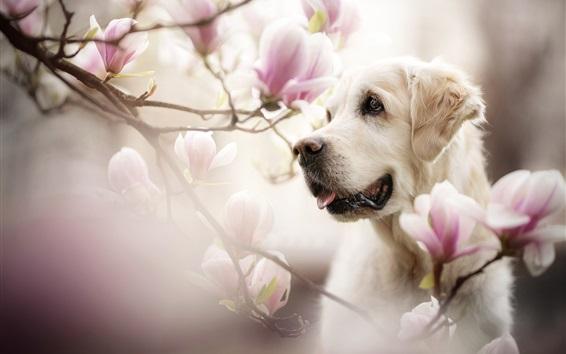 Wallpaper Dog face, magnolia flowers, bokeh