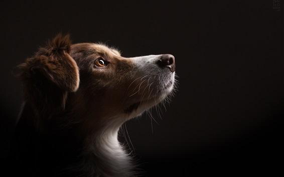Wallpaper Dog look up, black background