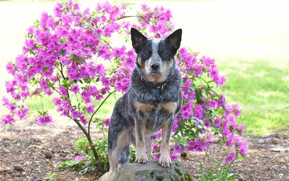 Papéis de Parede Cão, fundo rosa flores