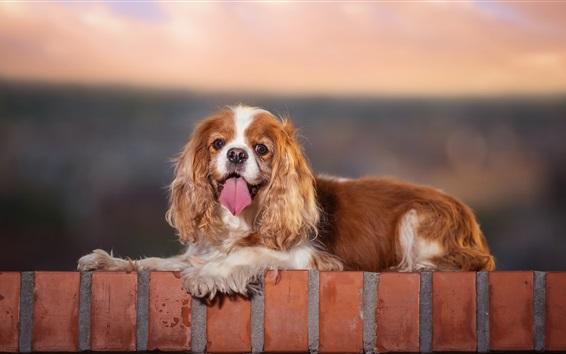 Wallpaper Dog rest, look, fence