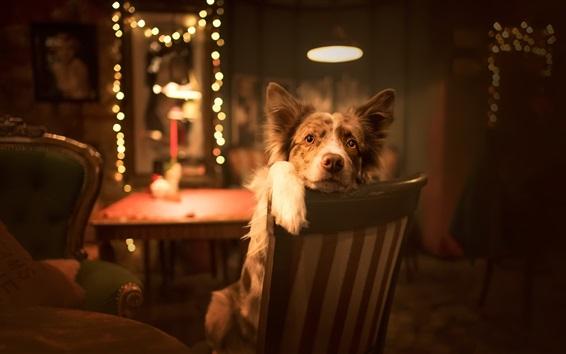 Hintergrundbilder Hund sitzt auf Stuhl, schauen, Lichter, Zimmer