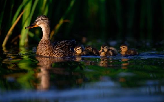 Papéis de Parede Patos, família, água, noite
