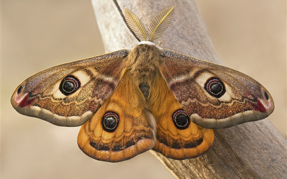 Wallpaper Emperor moth, butterfly, wings, insect