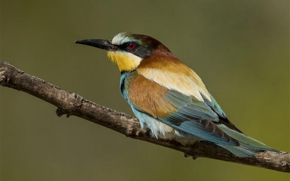 Wallpaper European bee-eater, bird, back view
