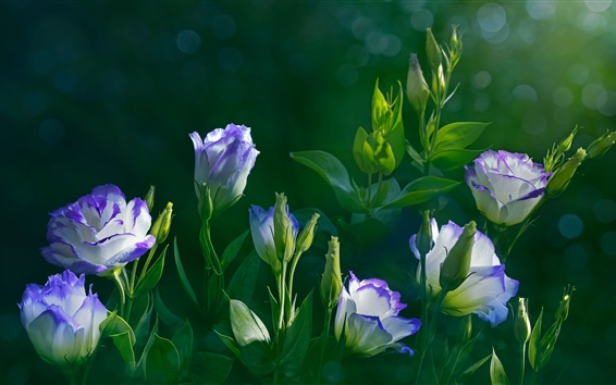 Wallpaper Eustoma flowers, green leaves, water drops