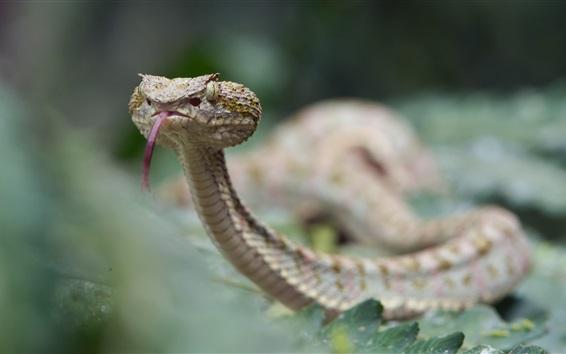 Papéis de Parede Víbora de cílios, cobra, bokeh