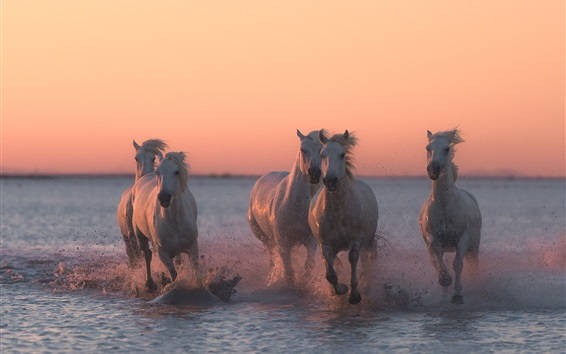 Wallpaper Five horses running in the water, dusk