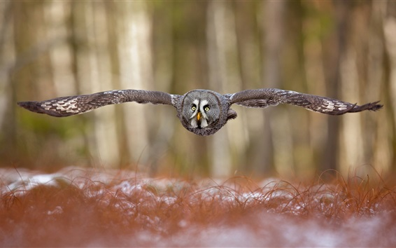 Wallpaper Forest, owl flying, wings, front view