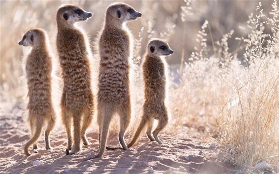 Papéis de Parede Quatro suricatas, família, grama