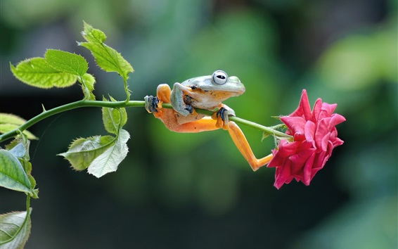 배경 화면 개구리와 핑크 장미