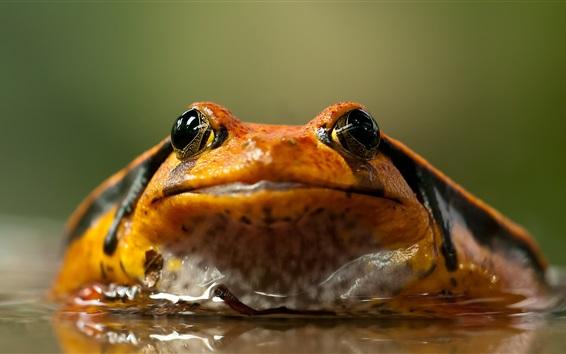 배경 화면 개구리 정면, 물