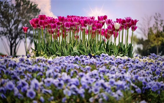 Wallpaper Garden, flowers, pink tulips, spring