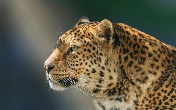 Wallpaper Handsome leopard, portrait, face