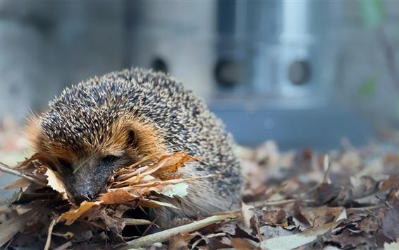 Wallpaper Hedgehog, leaves