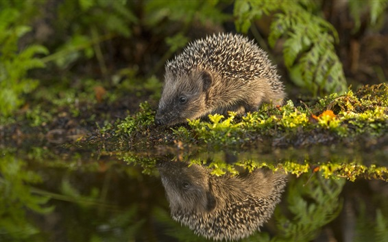 Wallpaper Hedgehog, water, moss, reflection