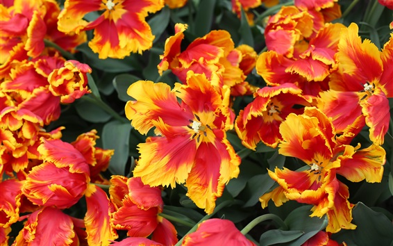 Wallpaper Holland, red-orange tulips