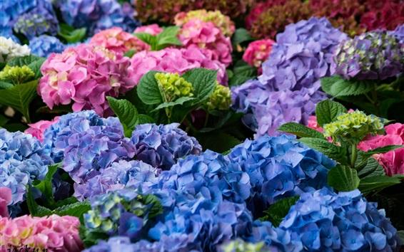 Papéis de Parede Hortênsia floração, flores coloridas, rosa, azul, roxo
