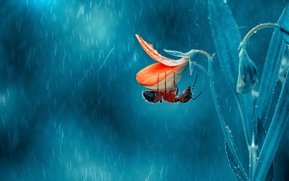Обои Насекомое, муравей, цветок, дождливый день