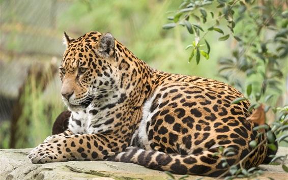 배경 화면 재규어, 야생 고양이, 동물 사진