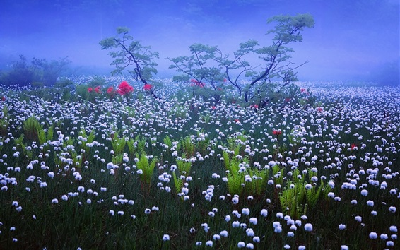 壁紙 日本、霧、霧、朝、白い野生の花