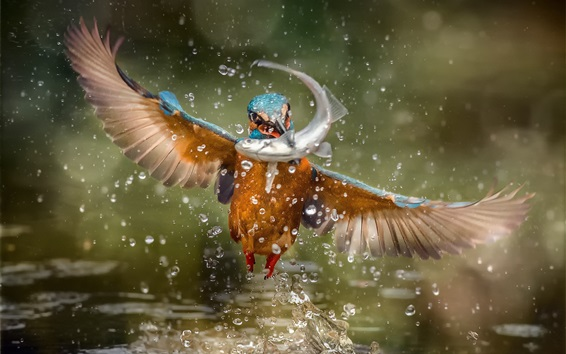 Wallpaper Kingfisher catch a fish, wings, water splash