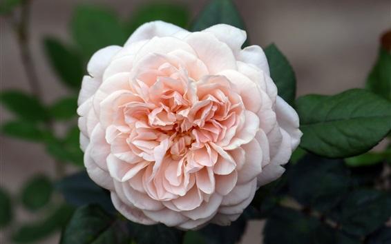 Papéis de Parede Luz rosa rosa floração