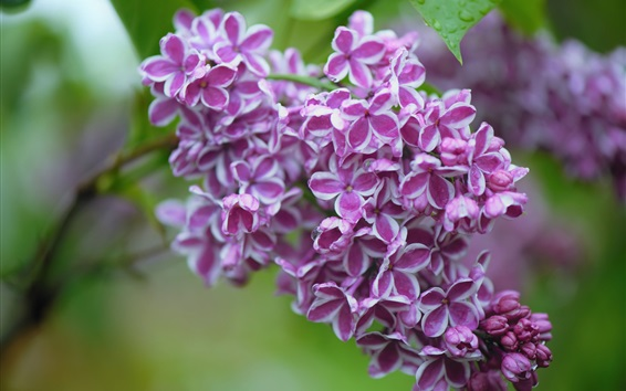 Wallpaper Lilac flowers, beautiful