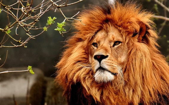 Wallpaper Lion, face, mane