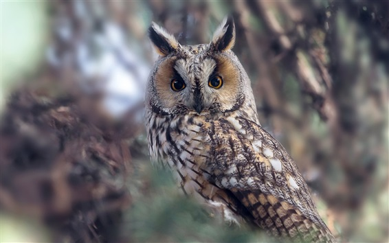 Wallpaper Long-eared owl, bokeh