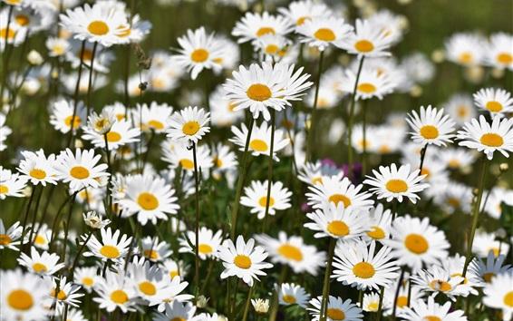 Papéis de Parede Muitas flores de camomila branca
