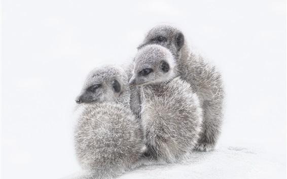 Papéis de Parede Meerkats filhotes, fundo branco