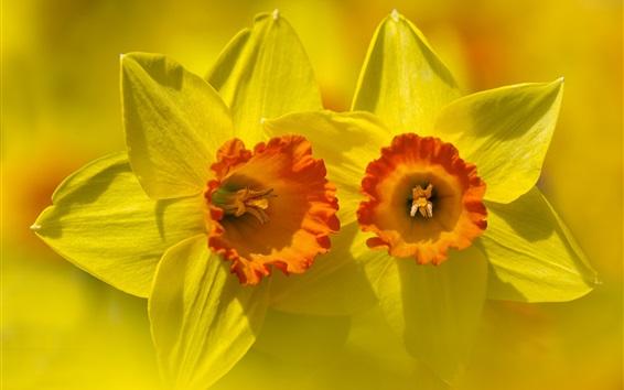 Papéis de Parede Narciso macro fotografia, pétalas amarelas