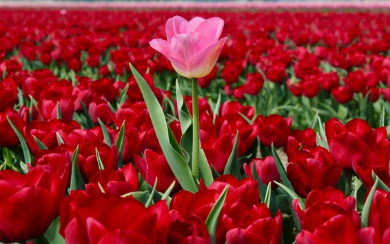 Wallpaper Netherlands, red tulips field, one pink flower