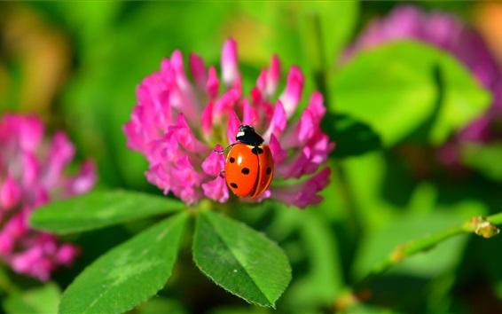 Wallpaper Orange ladybug, pink flowers, insect