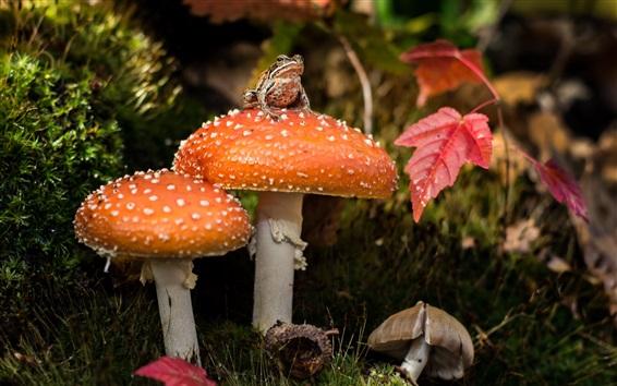 배경 화면 오렌지 버섯, 개구리, 붉은 잎