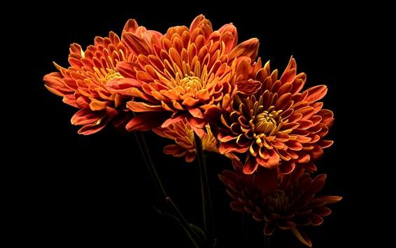 Обои Оранжевые лепестки георгины, черный фон