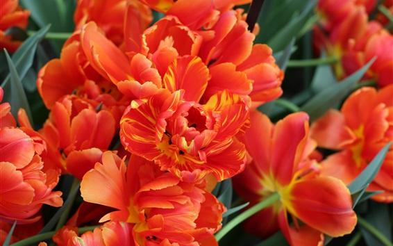 Wallpaper Orange petals tulips, Holland