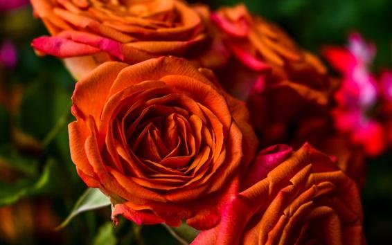 Wallpaper Orange roses, petals