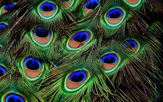Papéis de Parede Fotografia macro de penas de pavão