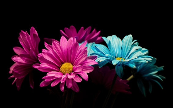 Wallpaper Pink and blue petals daisy, black background
