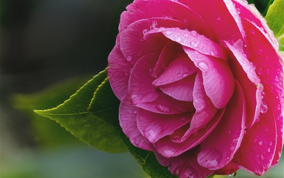 Papéis de Parede Camélia rosa, macro fotografia, gotas de água