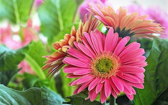 Wallpaper Pink gerbera flowers, green leaves
