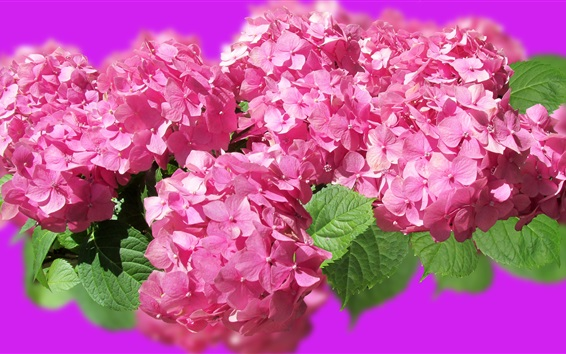 Wallpaper Pink hydrangea, beautiful flowers, spring